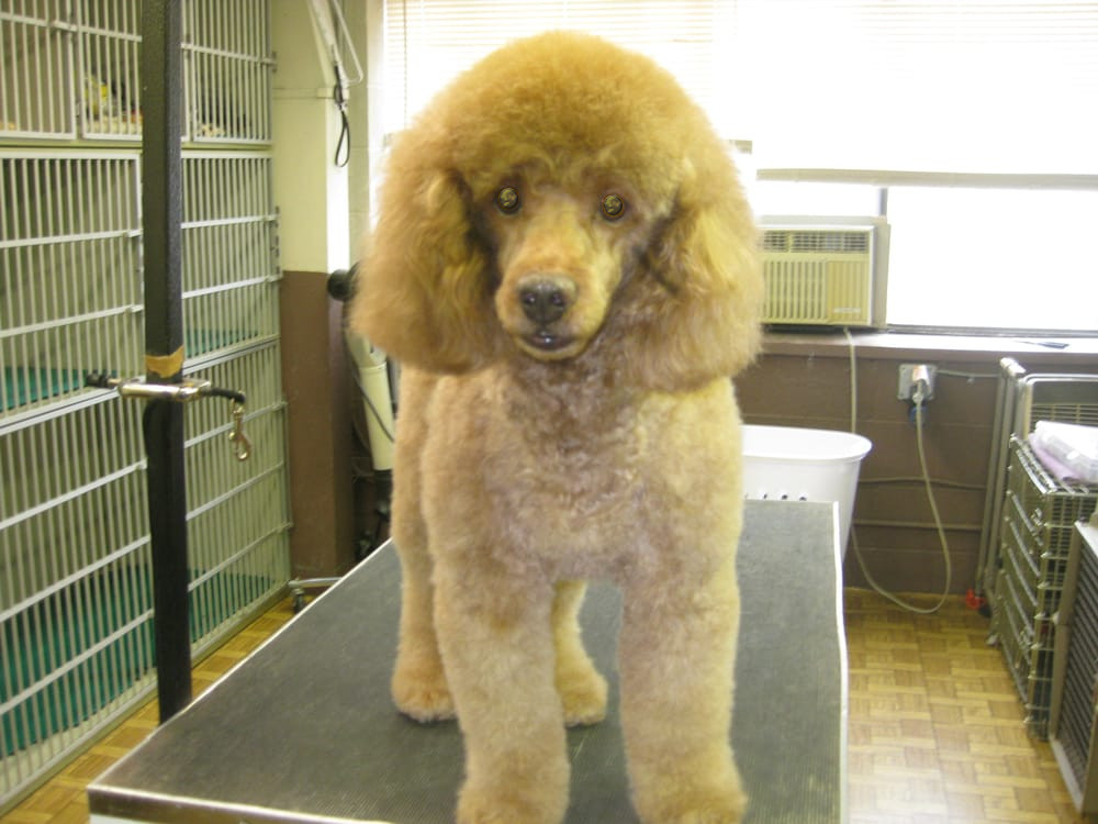 Grooming poodle (front view)