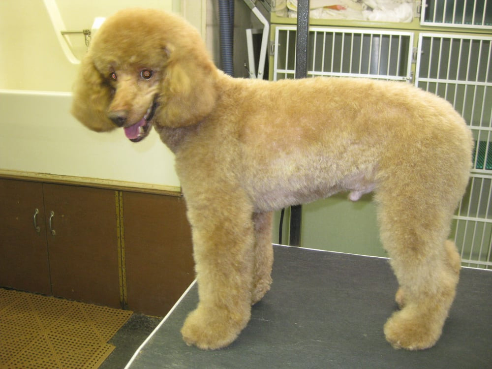 Grooming poodle (side view)